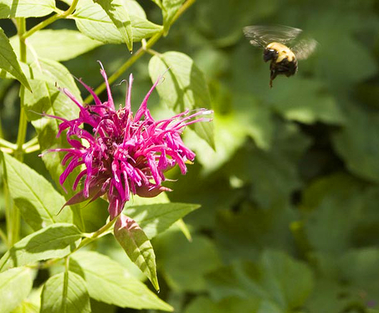 Bee's Balm (Monadra didyma 'Mahogany') lives up to its name. Insects are a vital and important part of the plant world.