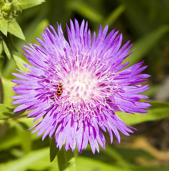 ellis perennial garden  mizzou botanic garden  university of, Beautiful flower